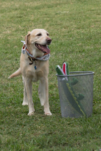 My labrador Oxford throwing away that Florida Gator