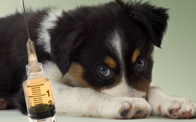 Early Socialization vs. Risk of Infection Canine Disease