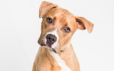 Don't Bully My Breed – Pittbulls, Staffordshire Terriers, and American Bulldogs – Dog Trainer Miami