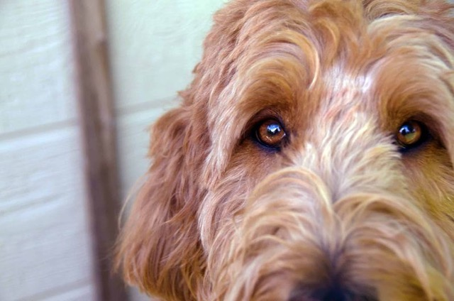 Coping with Fearful Adolescent Dogs